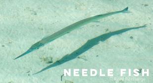 needle fish.png
