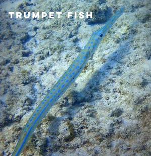 trumpet fish.png