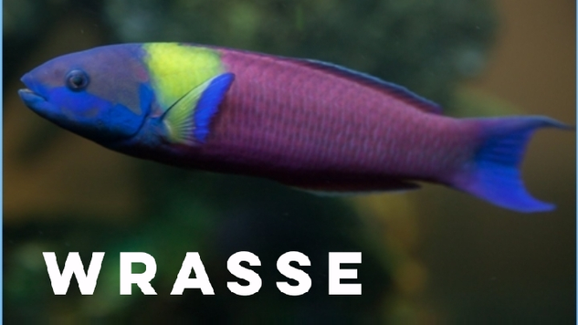 wrasse.png