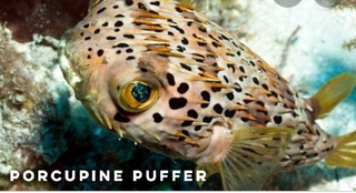 porcupine puffer.png