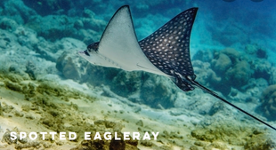 spotted eagleray.png