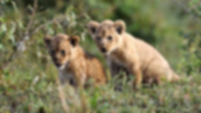 lion-cubs-animal-image-collection.jpg