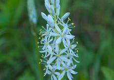 Wild-Hyacinth (Camassia scilloides)