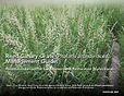 Reed-Canary-Grass-Management-Guide pg1 c