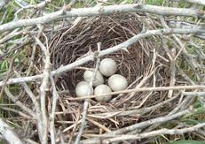 Brown Thrasher Nest