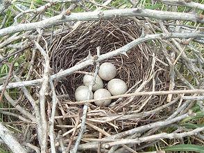2005 Brown Thrasher nest (eggs)-Kevin_El