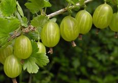 Gooseberry (Ribes cynosbati)