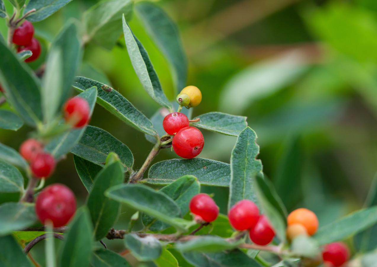 Honeysuckle Bush (Lonicera spp.)