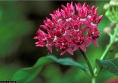 Purple Milkweed (Asclepias purpurascens)