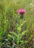 Hill's Thistle (Cirsium pumilum)