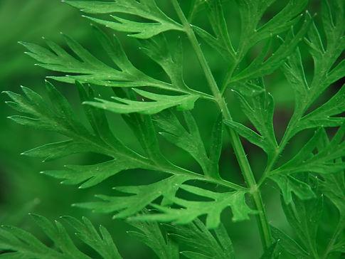 carrot greens.jpg