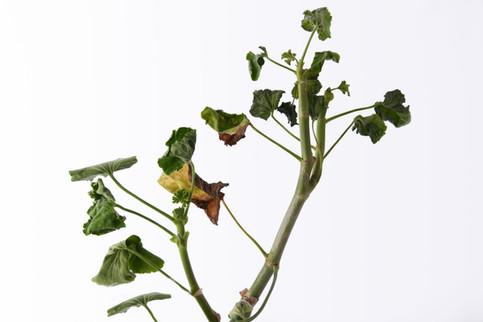 grim reaper's plant.jpg
