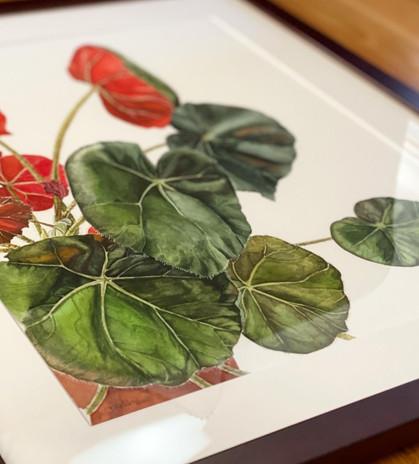 Begonia framed, detail