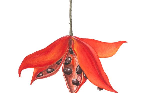 Sterculia lanceifolia