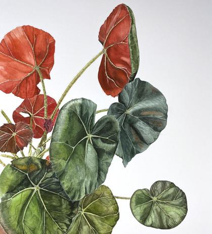 Begonia unframed