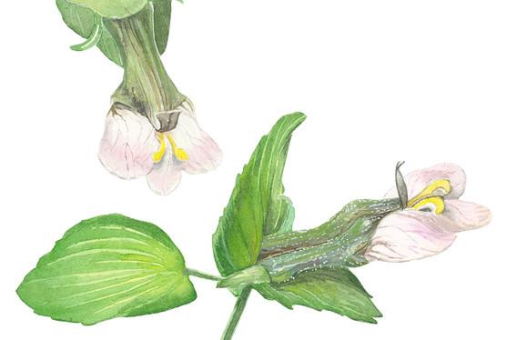 Picria felterrae