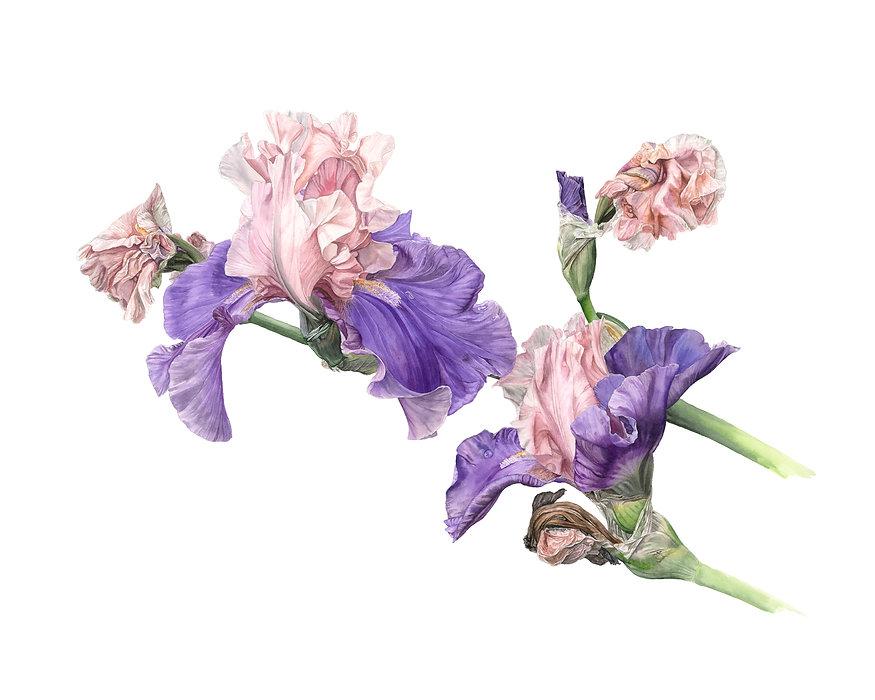 IrisesPrint.jpg