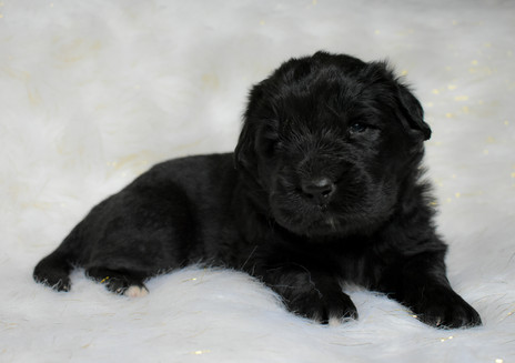 Newfoundland puppies turn 3 weeks old