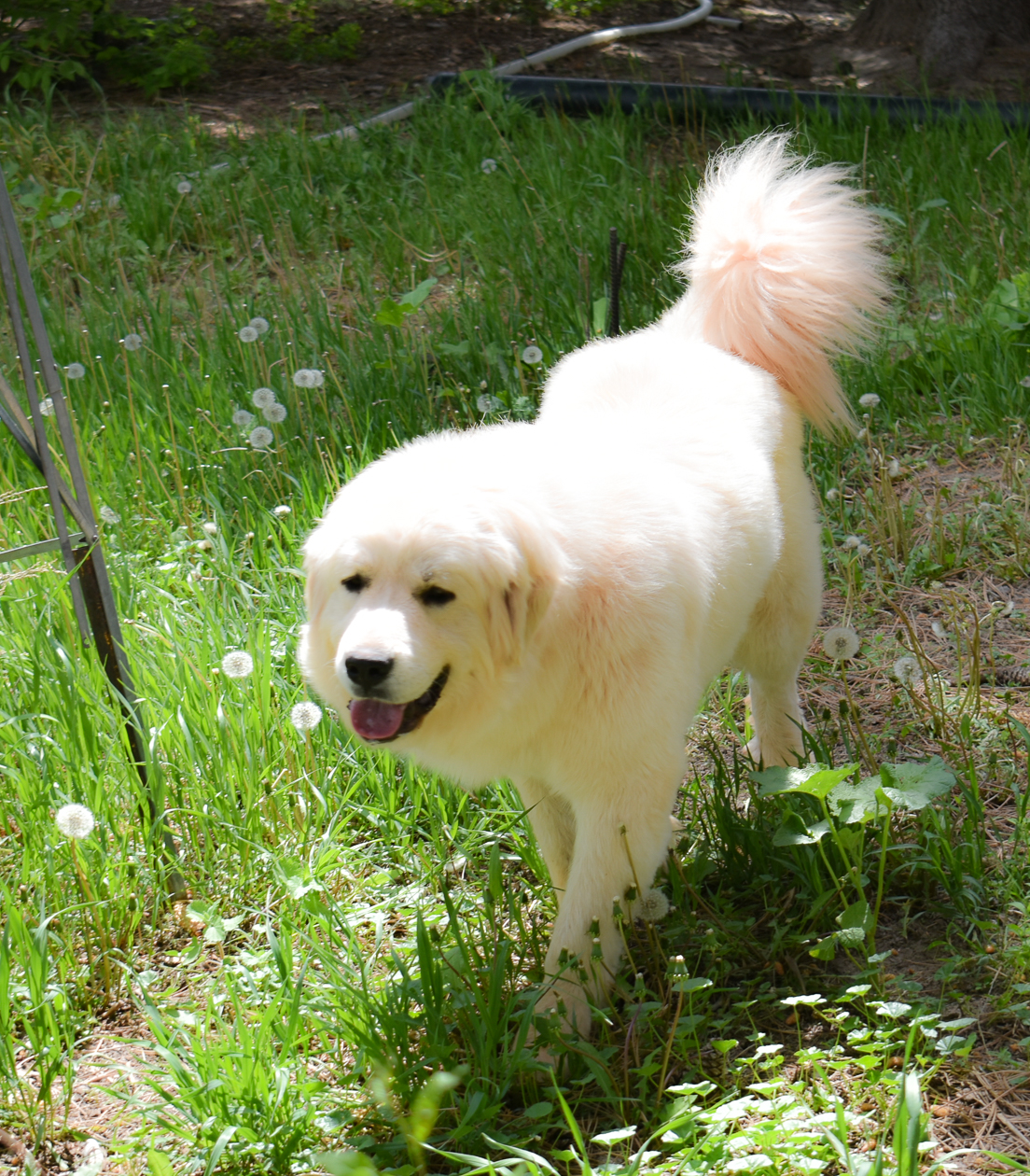 Great Pyrenees in Wyoming - Luna