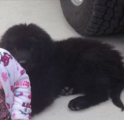 Newfoundlands in Wyoming - Champ