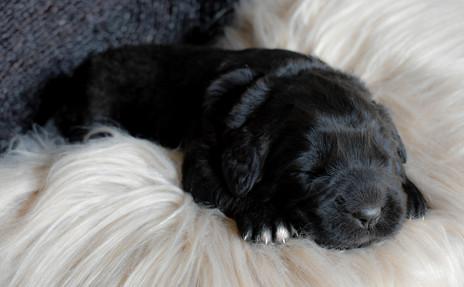 Newfoundland Puppies Turn 2 Weeks old