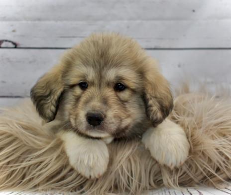 Great Pyrenees Puppies turn 6 weeks