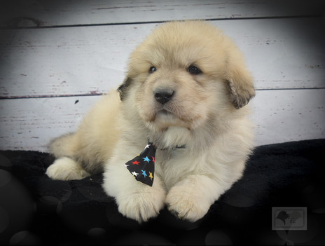 Great Pyrenees Puppies Turn 5 Weeks Old