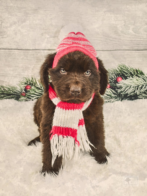 Newfie Female 6-Reserved