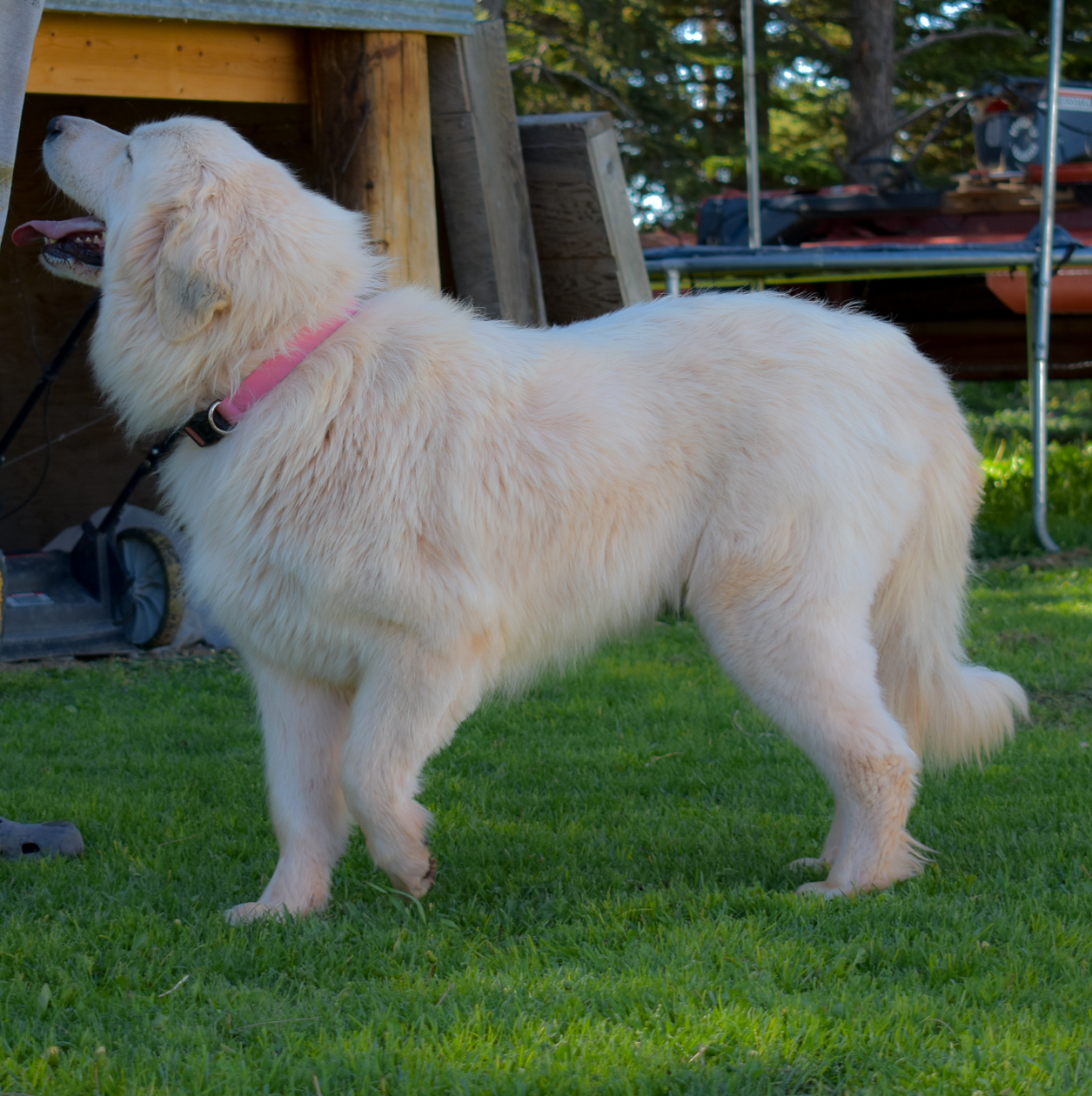 Great Pyrenees in Wyoming - Lady