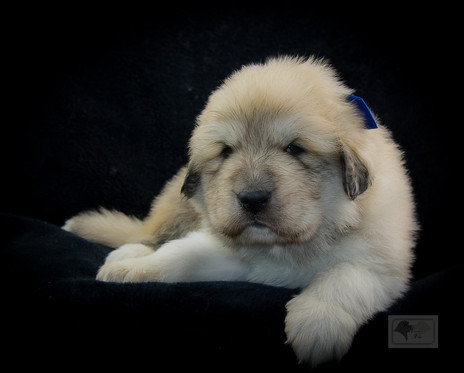 Great Pyrenees Puppies Turn 4 Weeks Old