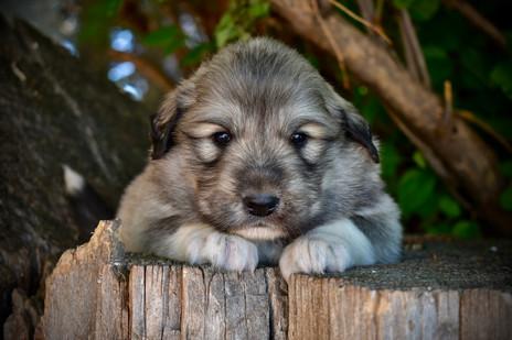 Great Pyrenees Puppies turn 3 weeks old