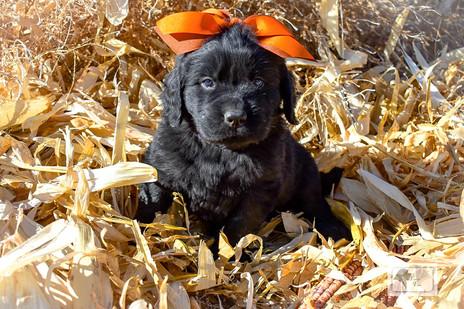 Newfoundland Puppies Turn 6 Weeks Old