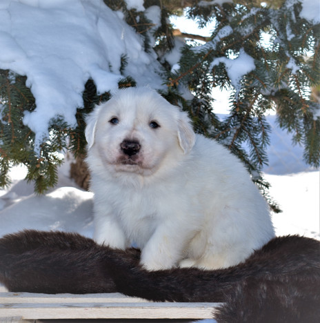Great Pyrenees Puppies 4 Weeks Old