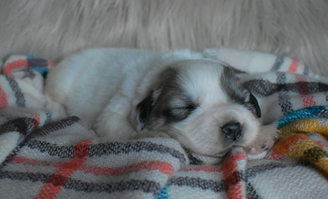 Great Pyrenees Puppies Turn 2 Weeks Old