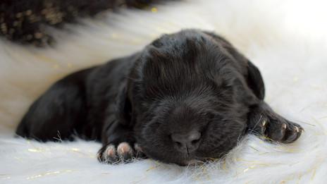 Newfoundland Puppies 1 Week Old