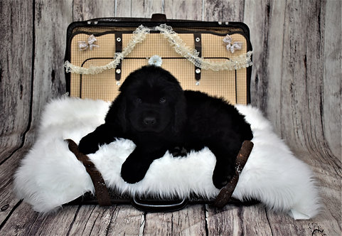 Newfie Female 3 - Reserved