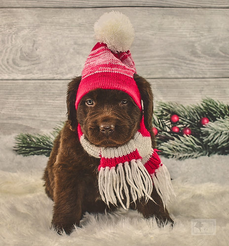 Newfie Female 3-Reserved