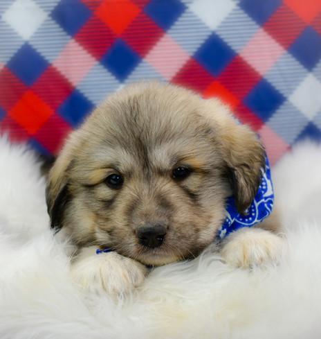 Great Pyrenees Pups turn 5 weeks old