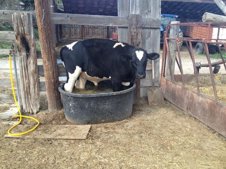 Butchering the family steer