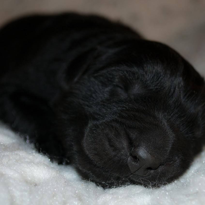 Litter 1 - Newborn - Male 3