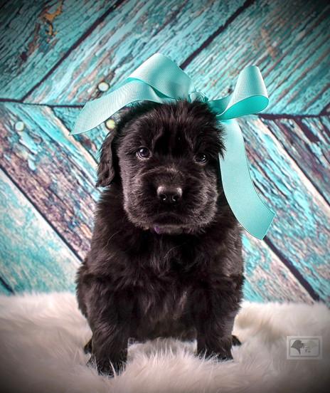 Newfoundland Puppies Turn 5 Weeks Old