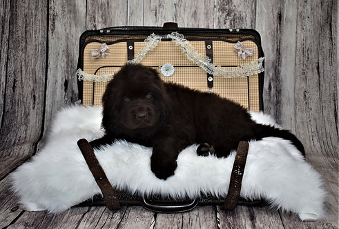 Newfie Male 3 - Reserved