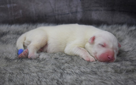 Great Pyrenees Newborn Photos