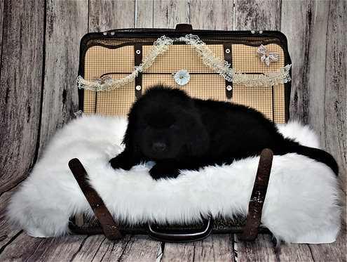 Newfie Male 2 - Reserved