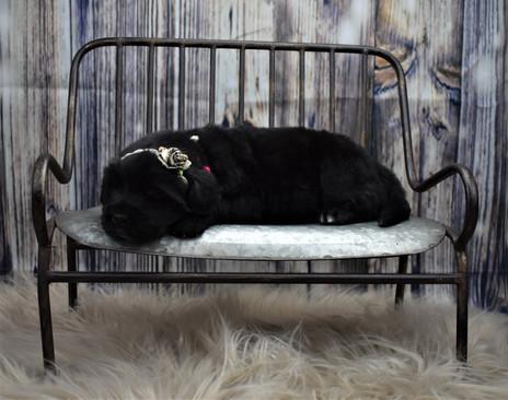 Newfoundland Puppies Turn 3 Weeks