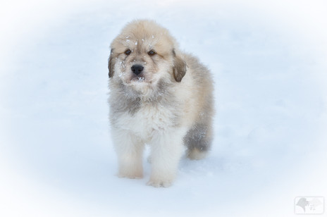 Great Pyrenees Turn 6 Weeks Old
