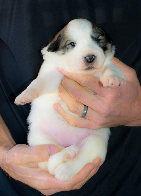 Great Pyrenees puppies turn 2 weeks old.