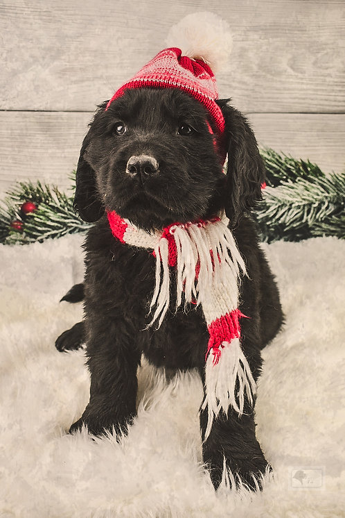 Newfie Male 3-Reserved