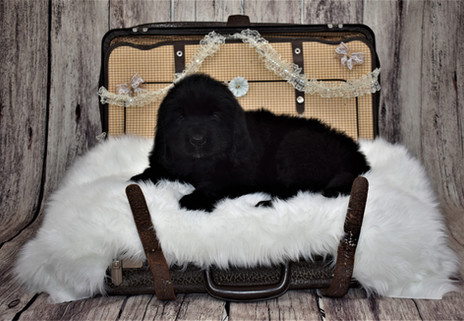 Newfoundland Puppies Turn 8 Weeks