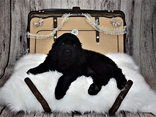 Newfie Female 6 - Reserved